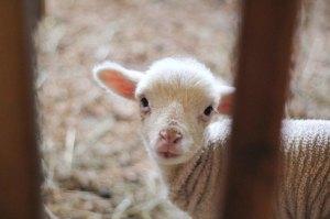 General lamb