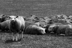 lamb general