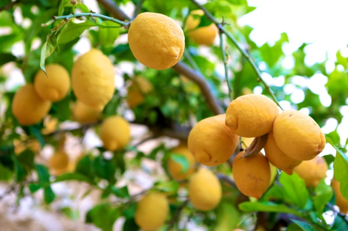 The Revenge of the Lemon Tree