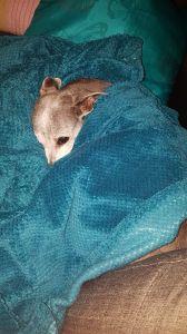 greyhound with blue blanket