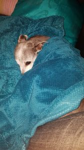 greyhound with blue blanket