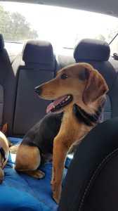 Beagle in car